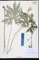 Aconitum lycoctonum subsp. neapolitanum image