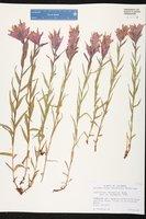Castilleja rhexiifolia image