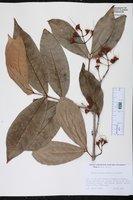 Image of Syzygium aqueum