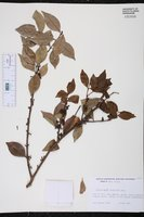 Siphoneugena densiflora image