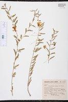 Chamaecrista serpens image
