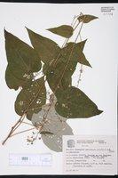 Wissadula parviflora image