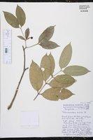 Image of Tabernaemontana disticha