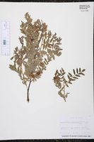 Brongniartia lupinoides image