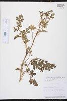 Solanum angustifolium image