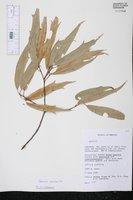 Quercus viminea image