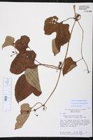 Cayaponia americana image