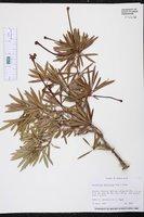 Brunfelsia densifolia image