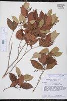 Calyptranthes zuzygium image