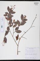 Myrcia citrifolia image