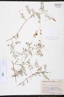 Image of Astragalus ervoides