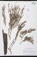 Juniperus flaccida image