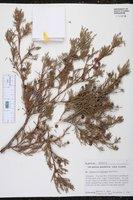 Image of Juniperus comitana