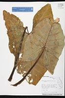 Xanthosoma sagittifolium image