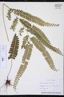 Image of Lindsaea guianensis