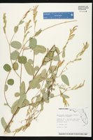 Alysicarpus ovalifolius image
