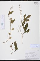 Cayaponia attenuata image