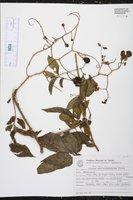 Image of Solanum alternatopinnatum