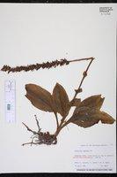 Cranichis muscosa image