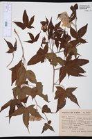 Image of Gossypium trilobum