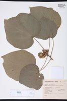 Image of Hampea tomentosa