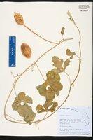 Cucumis anguria image