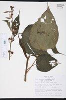 Image of Triumfetta grandiflora