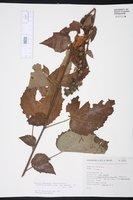 Image of Pavonia chlorantha
