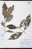 Image of Alibertia latifolia