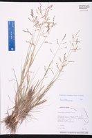 Eragrostis scaligera image