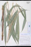 Pseudosasa japonica image