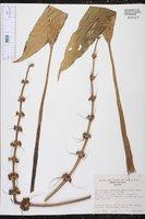 Echinodorus andrieuxii image
