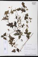 Image of Clematis formosana
