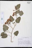 Image of Solanum fiebrigii