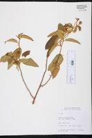 Image of Solanum polygamum