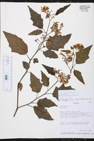 Solanum consimile image