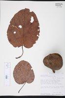 Image of Pterygota amazonica