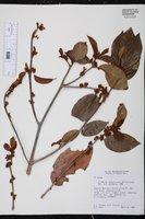 Colubrina arborescens image
