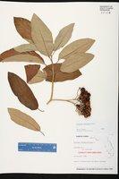 Solanum donianum image