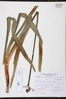 Image of Stenomesson variegatum