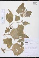 Solanum fiebrigii image