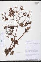 Image of Colignonia rufopilosa