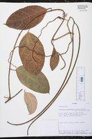 Prestonia portobellensis image