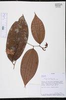 Bauhinia beguinotii image