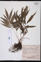 Image of Dryopteris angustifolia
