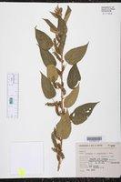 Acalypha subviscida image