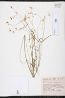 Image of Euphorbia ariensis