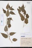 Image of Acalypha langiana