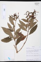 Fuchsia lehmannii image