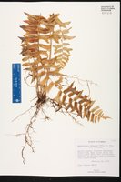 Nephrolepis falcata image